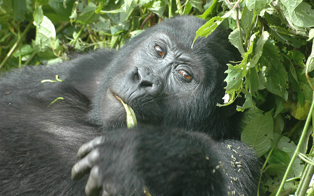 AK-Taylor-Uganda-East-Africa-Safari-Gorillas copy.JPG