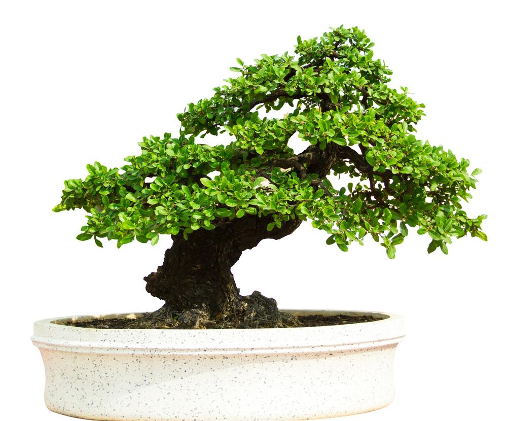 Bonsai 2.jpg