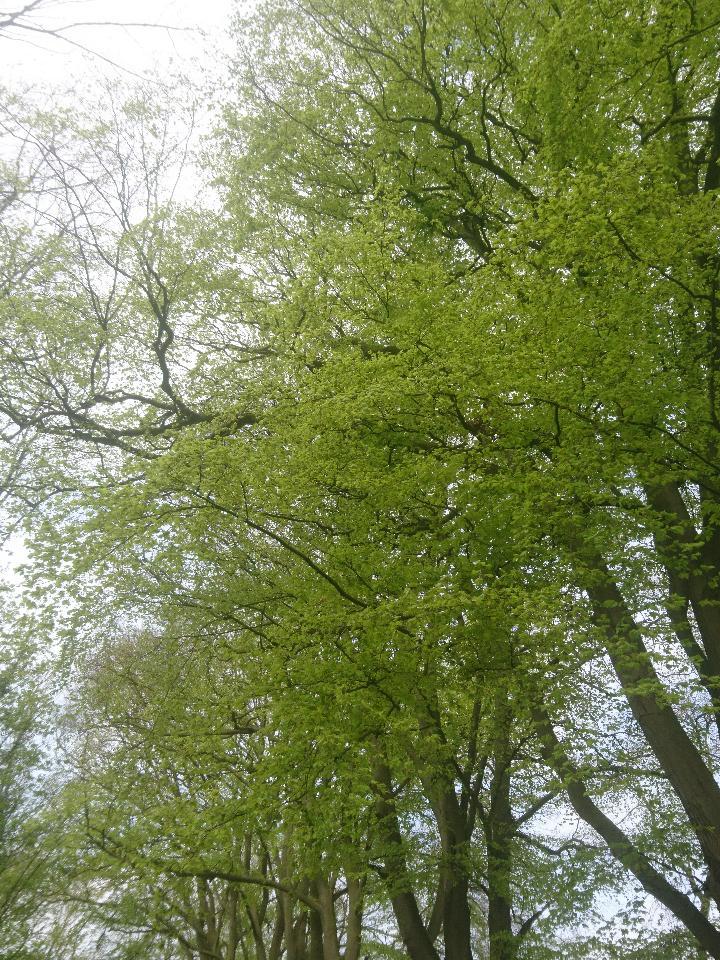 Beech Tree 2.jpg