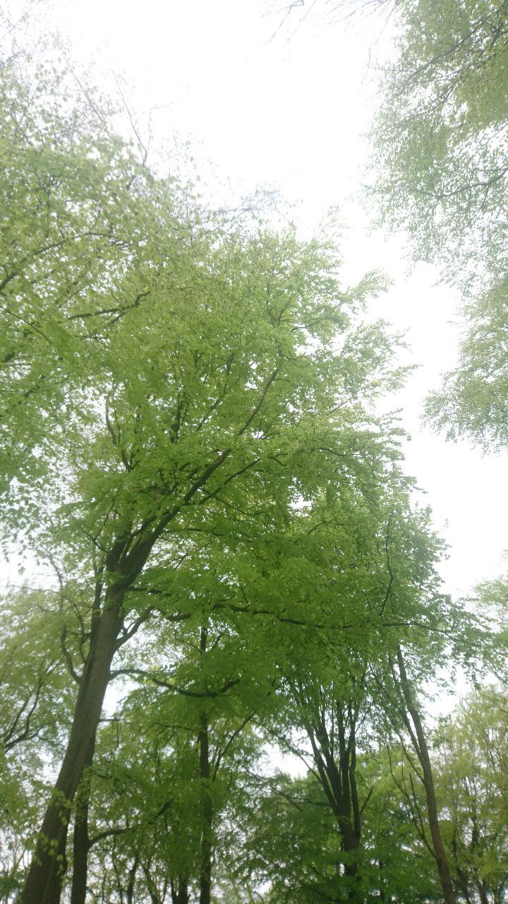 Beech Tree 3.jpg