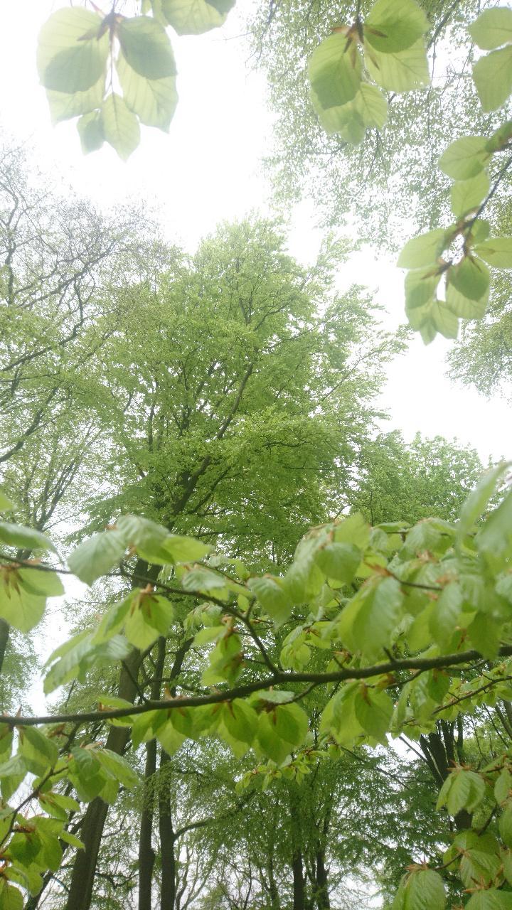 Beech Tree 4.jpg