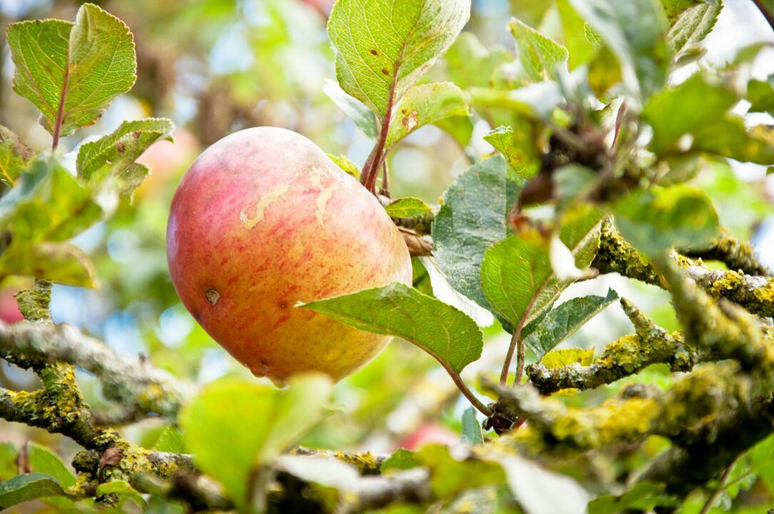 Leafy apple.JPG