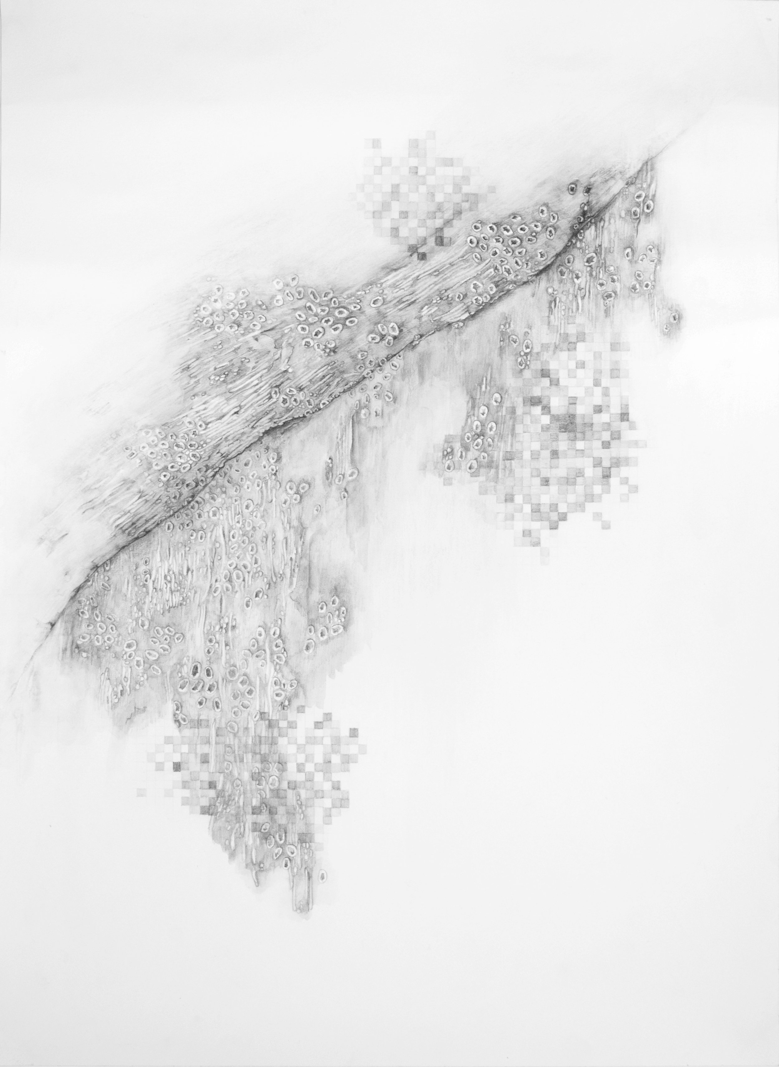 """810x  Leaf  water-soluble graphite pencil on paper,  22"""" x 30""""    2014"""