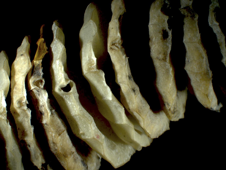 Whelk Egg Sacks, 2015