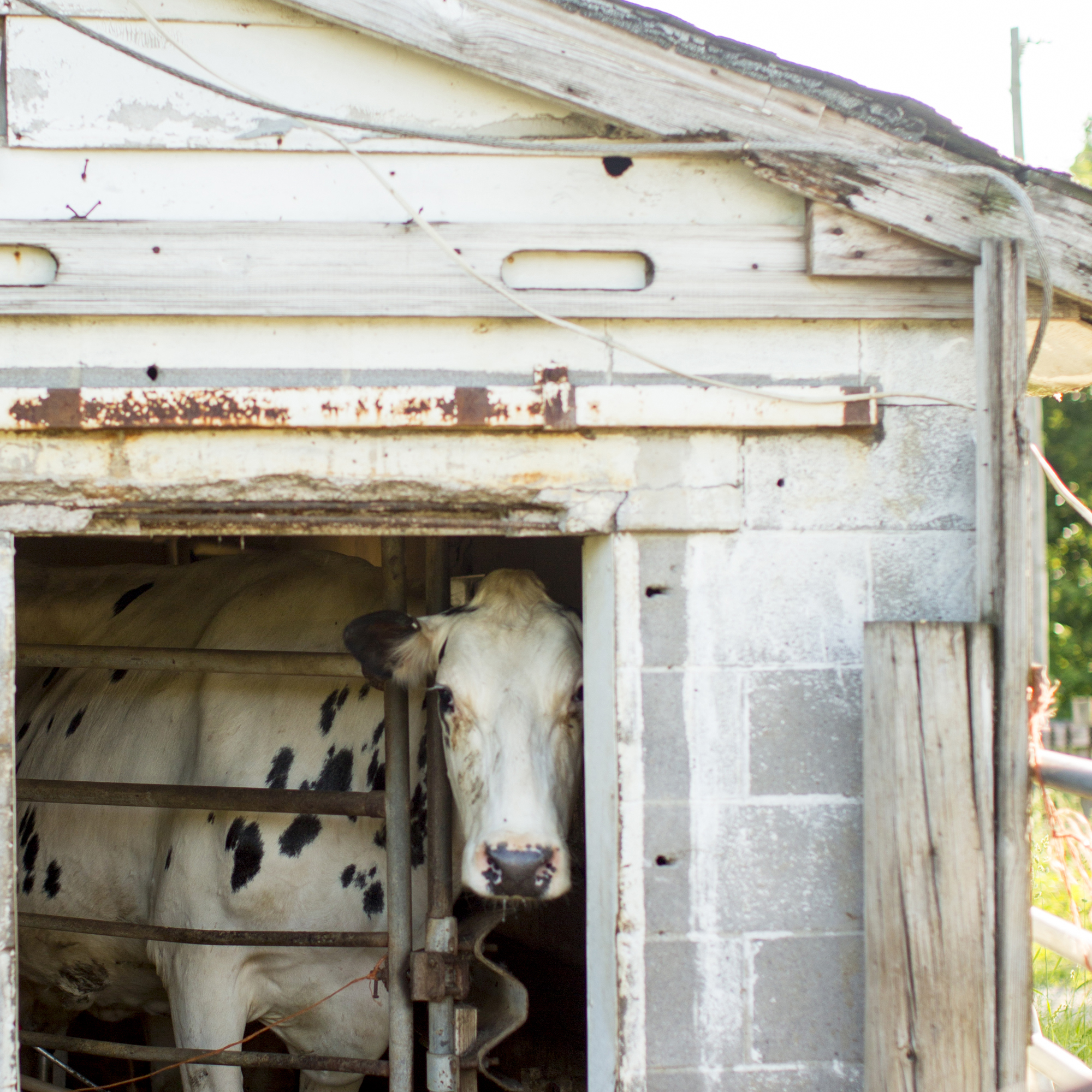 Seriously_Sabrina_Photography_Jericho_Acres_Kentucky_Dairy_May_23_2018_42.jpg