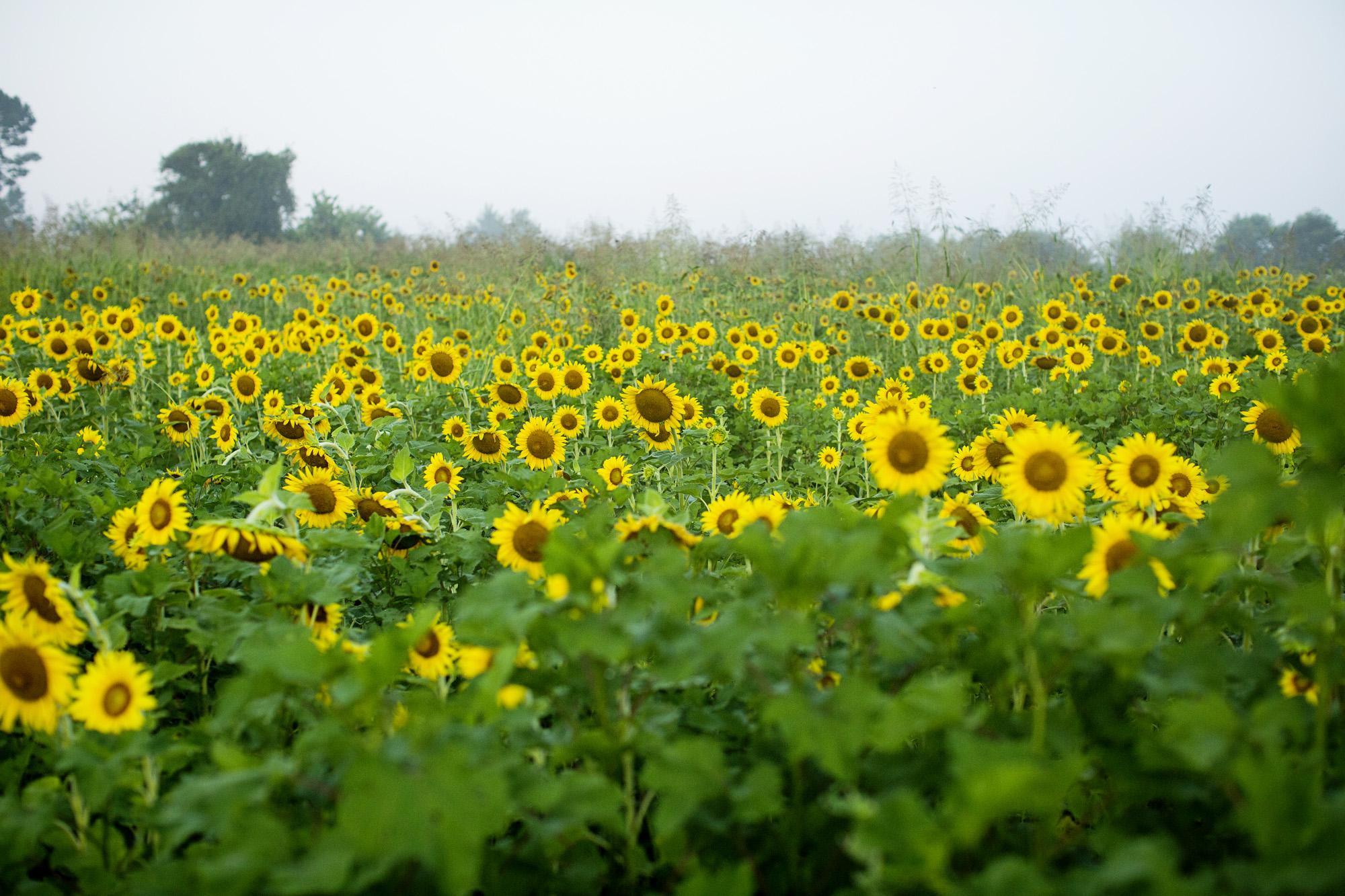 Seriously_Sabrina_Photography_Lexington_Frankfort_Kentucky_Maternity_Mini_Sunflowers_Johns7.jpg