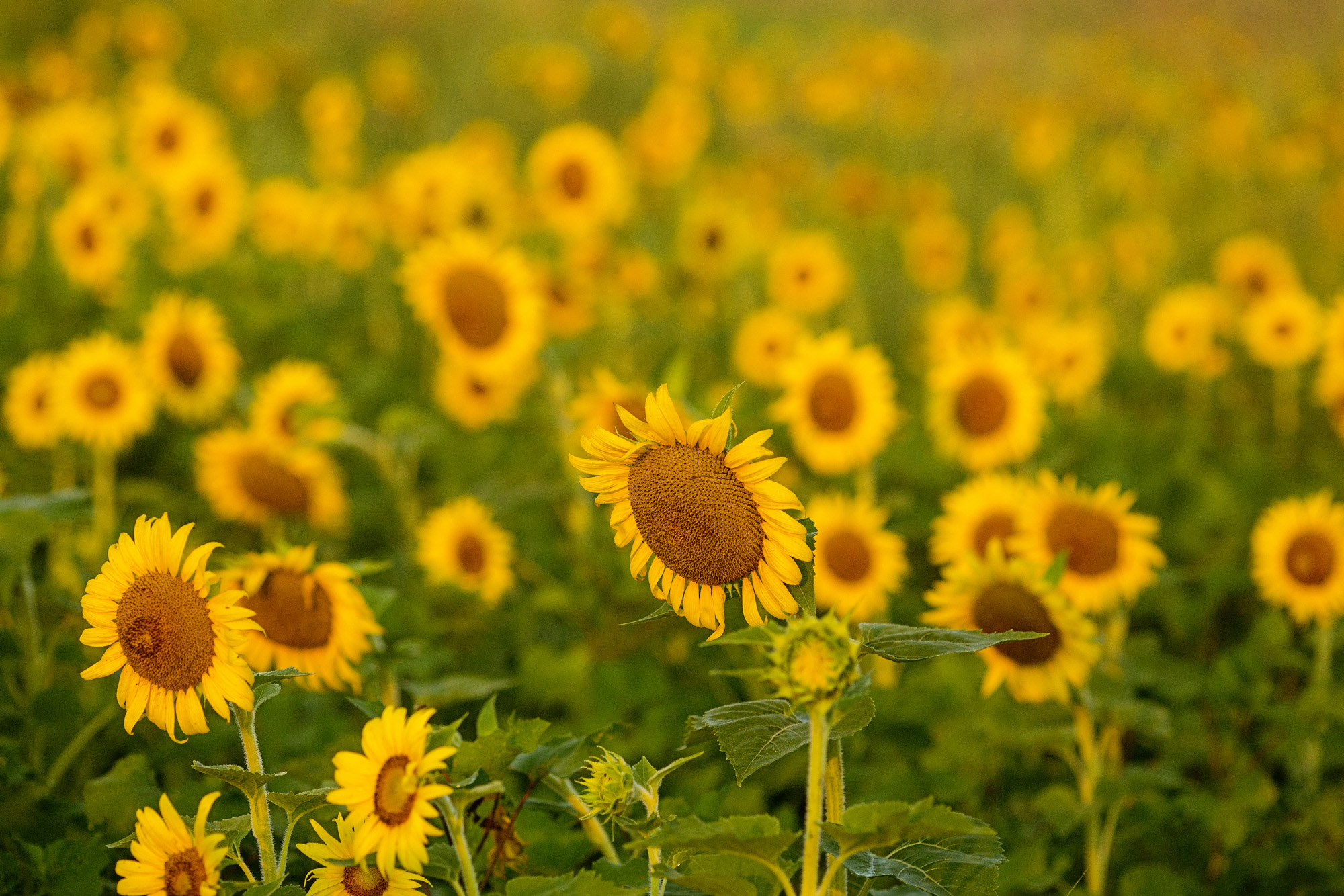 Seriously_Sabrina_Photography_Lexington_Frankfort_Kentucky_Maternity_Mini_Sunflowers_Johns25.jpg