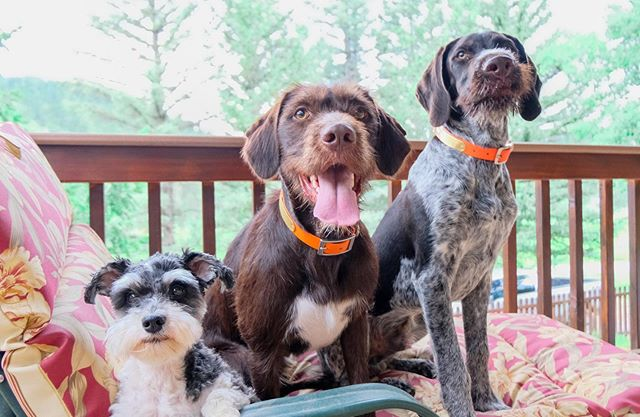 Lounging on our deck and barking at any and everyone who dares to walk by 🙄 . . . #sophie #the #schnoodle #queen |  #huckleberry #the #wirehairedpointer #labmix #and #anxiousdog |  #silas #the #germanwirehairedpointer #gwp #puppy  #mountaincabin #cabinlife #dogsofinstagram #pointers #and #schnauzer #poodles #and #doodles #siblinggoals #puppies #smallmediumlarge #bigbros #littlesis #furbabies #pupstagram
