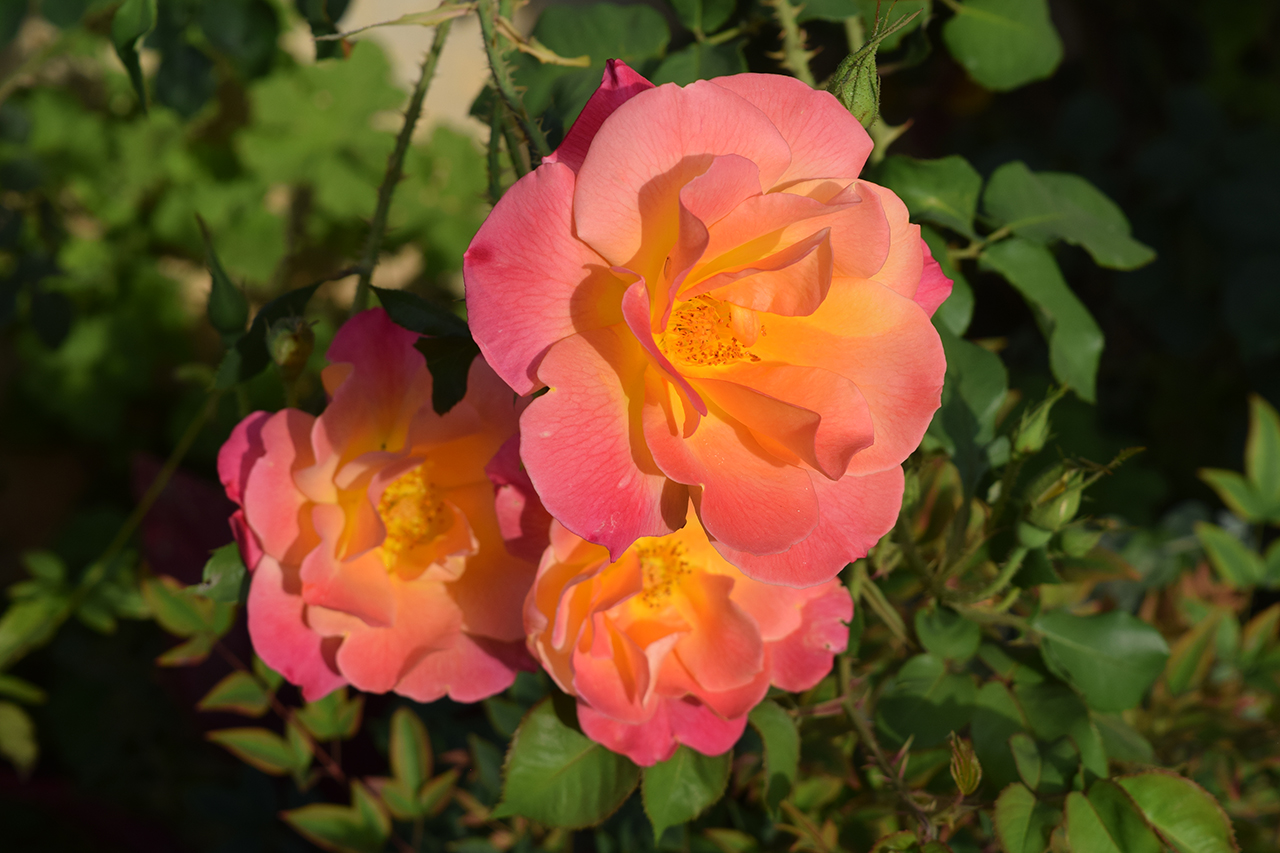 roses luxury garden