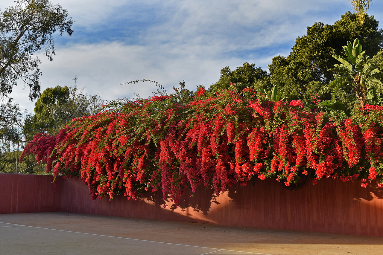 largest bougainvillea in los angeles