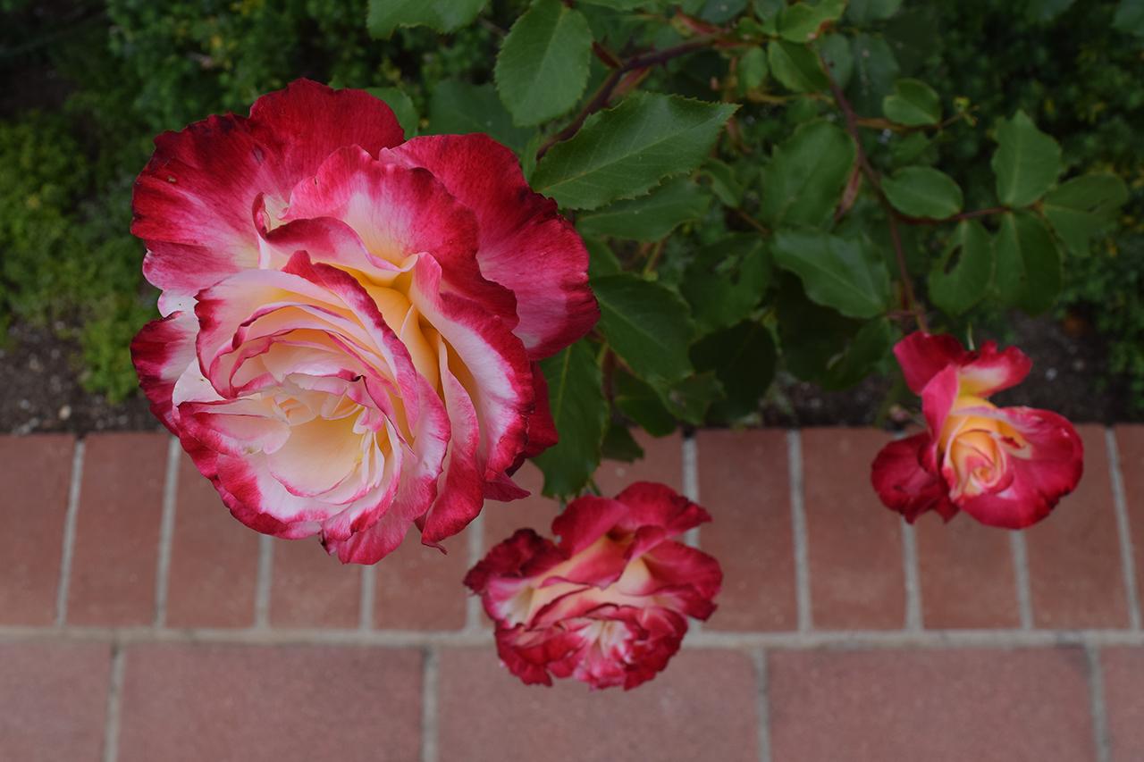 rose garden flowers