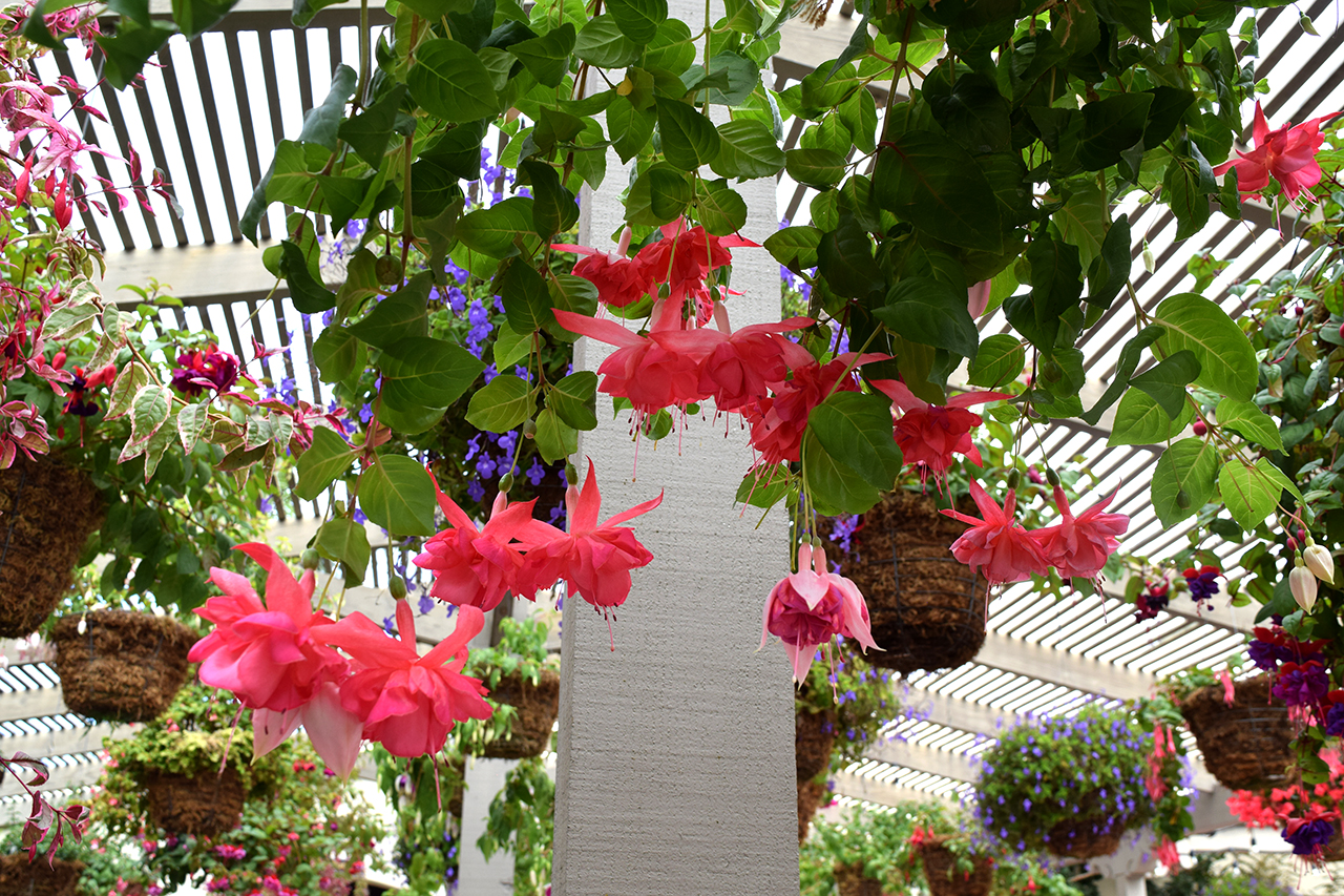 fuchsia flower in the tea garden
