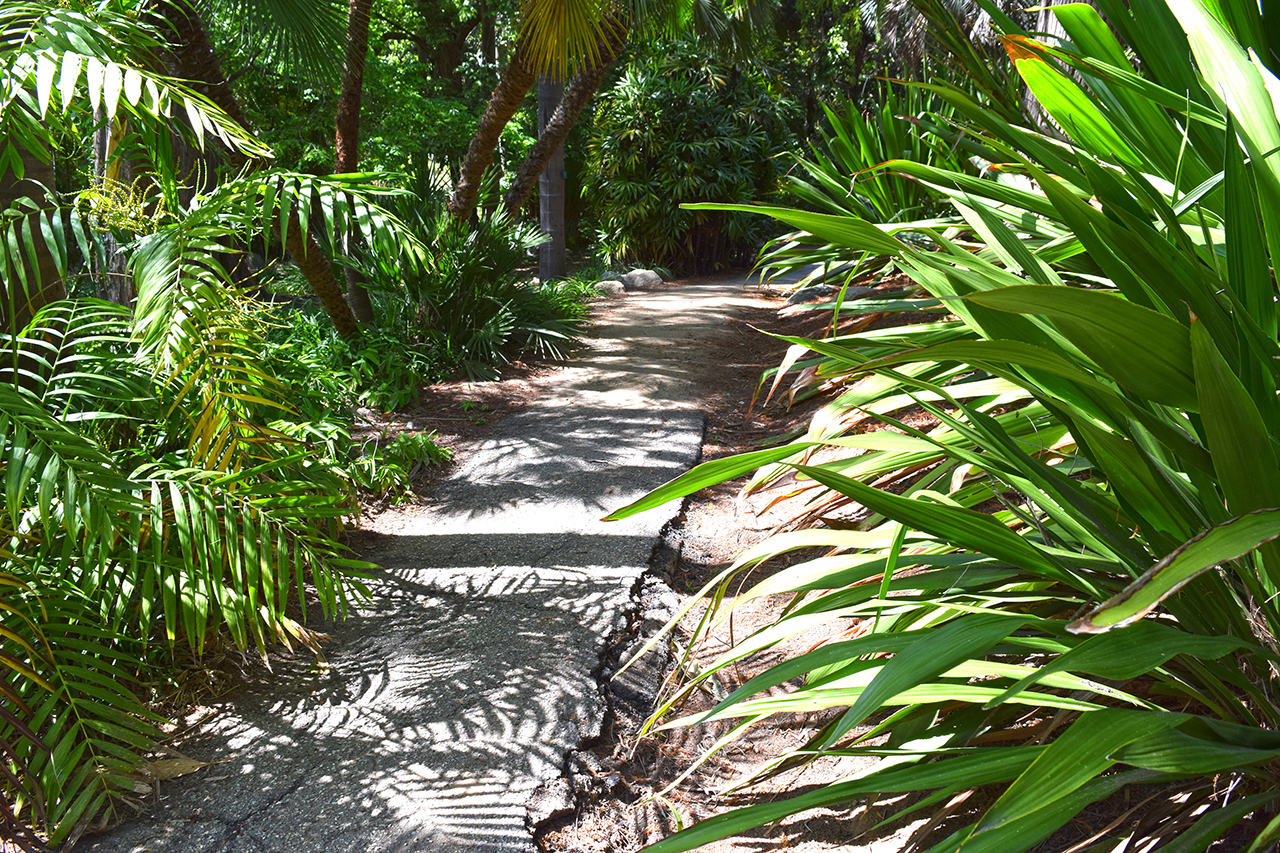 walkway with palms and giant spear lilies at Mildred E. Mathias Botanical Garden on UCLA campus