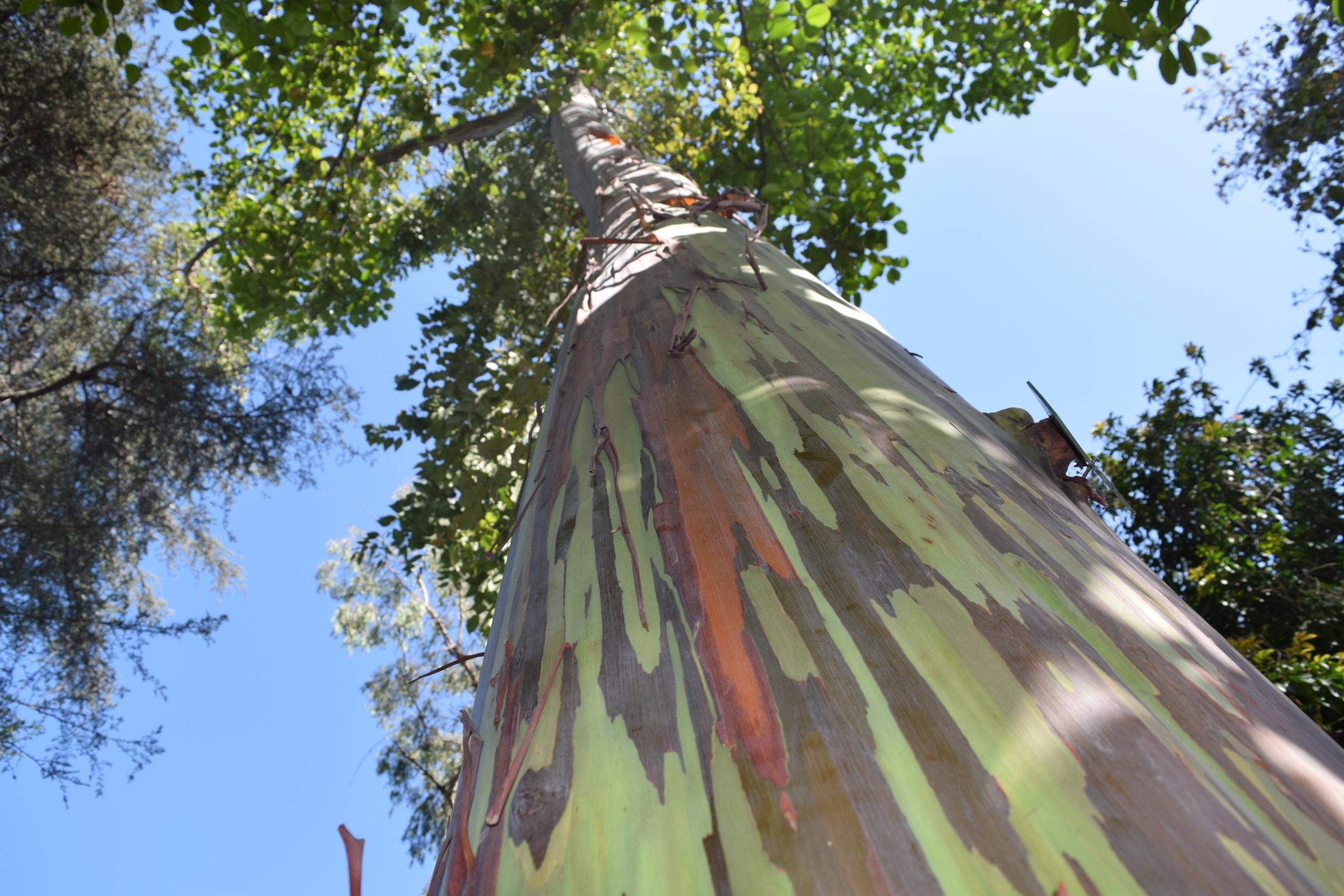 rainbow eucalyptus painted bark tree california native white Matilja Poppy at Mildred E. Mathias Botanical Garden on UCLA campus