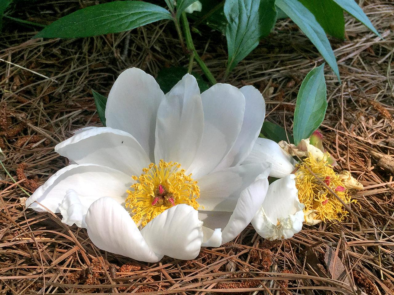 fallen white peony on pine needles  at Schwartz Peony Gardens in Seneca Creek State Park
