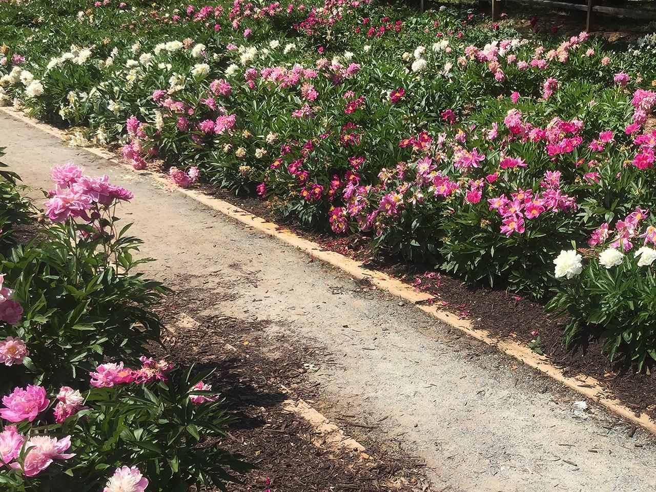 pathway lines with peonies at Schwartz Peony Gardens