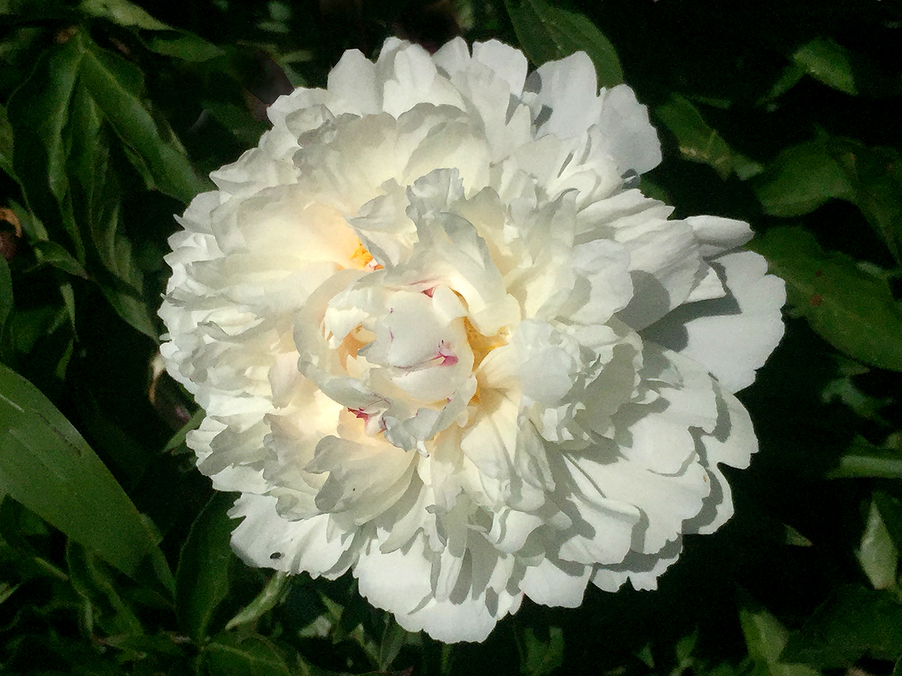 double peony in white  at Schwartz Peony Gardens in Seneca Creek State Park