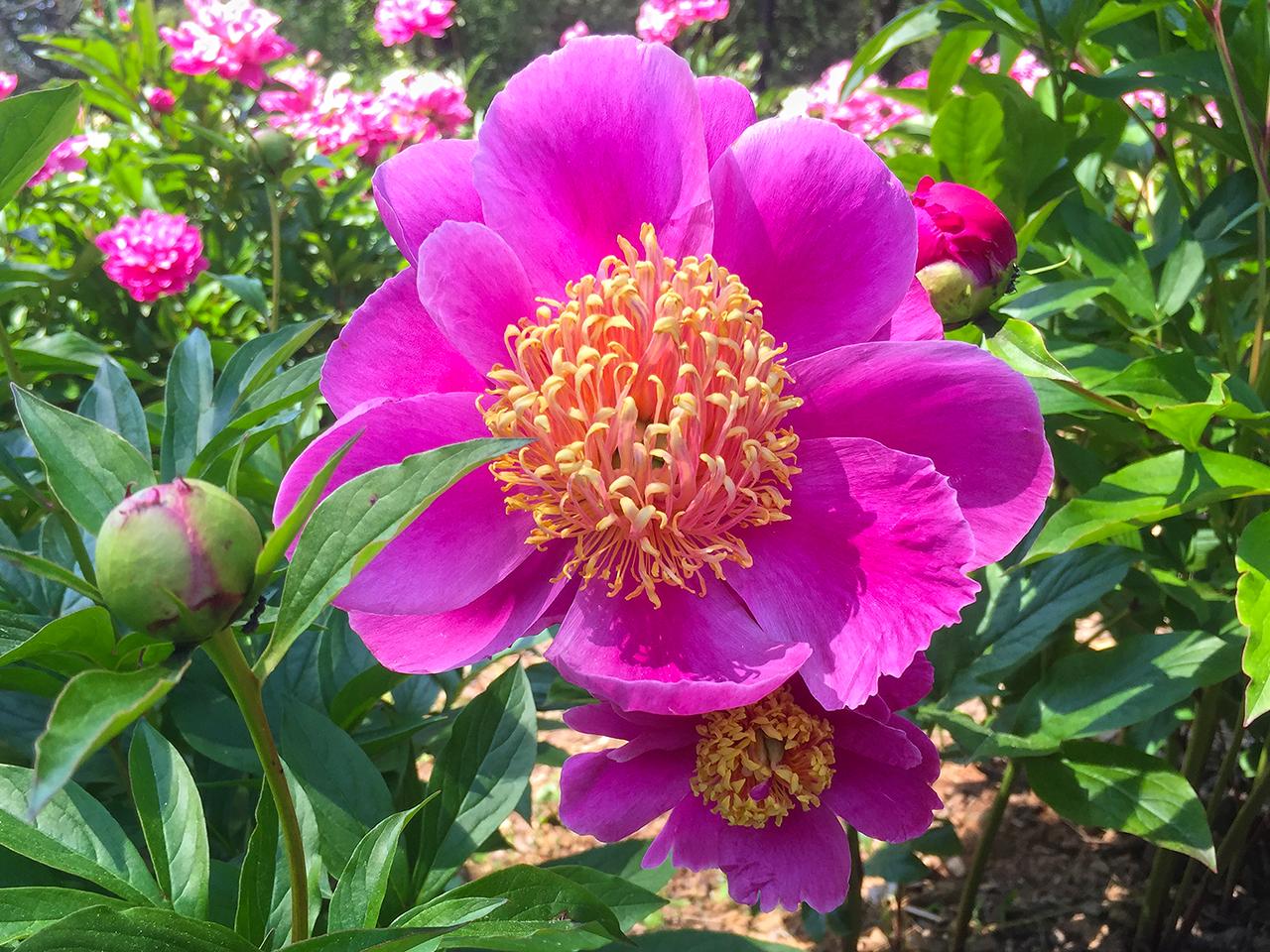 Single Peony at Schwartz Peony Gardens in Seneca Creek State Park