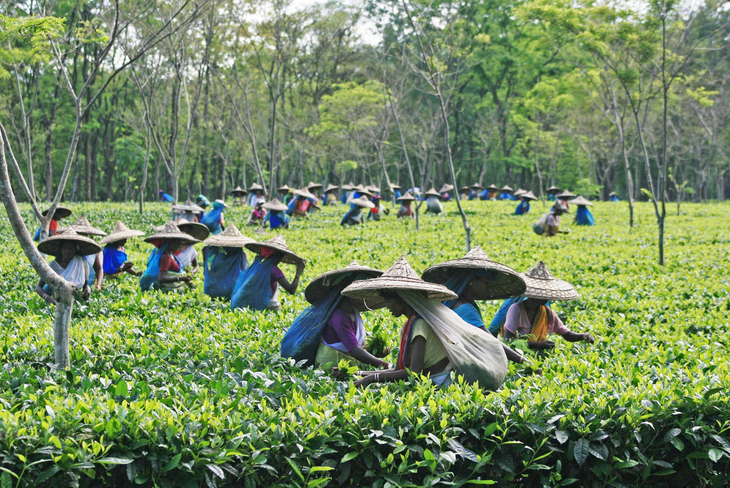 Nearby tea garden estate