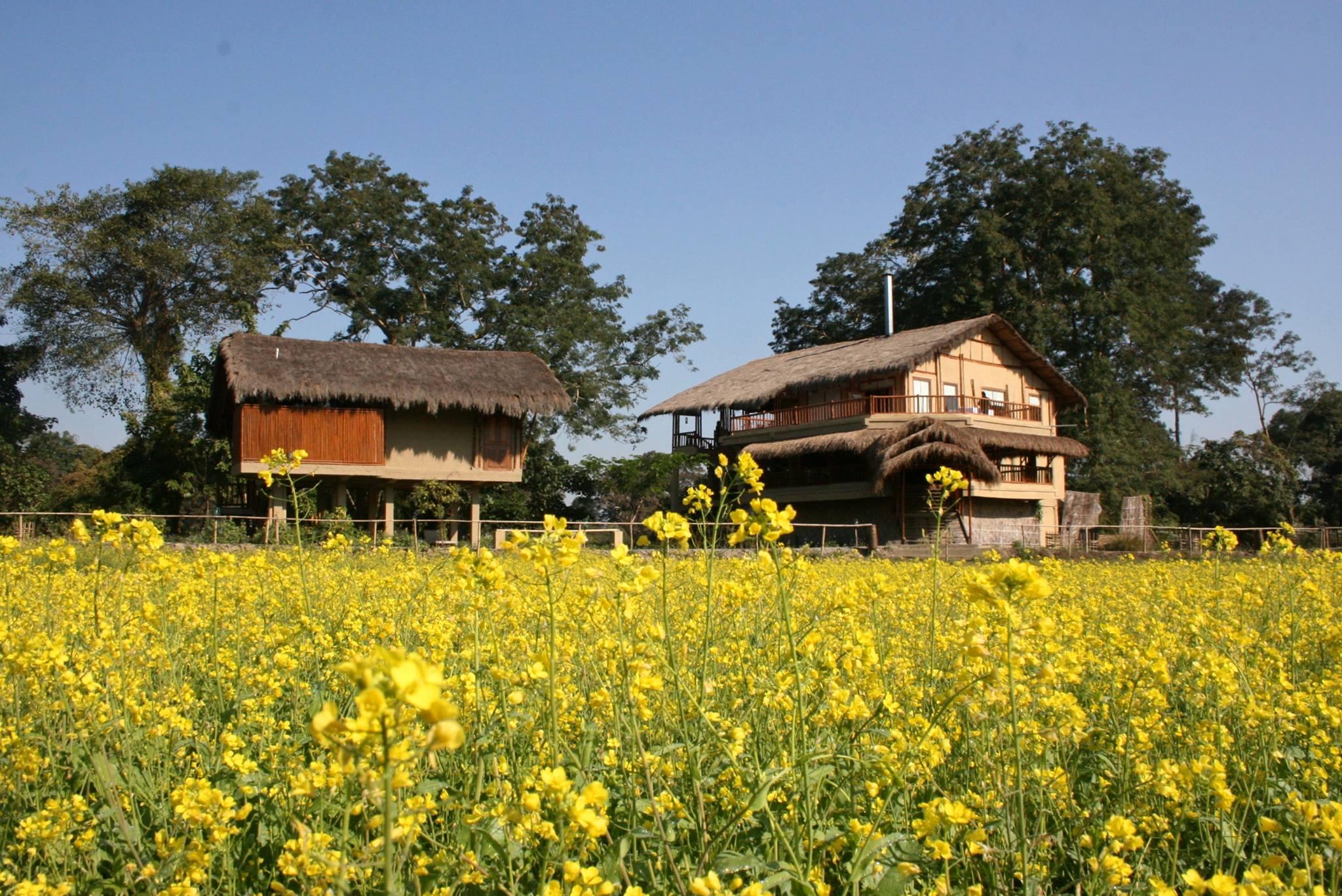 Golden mustard field