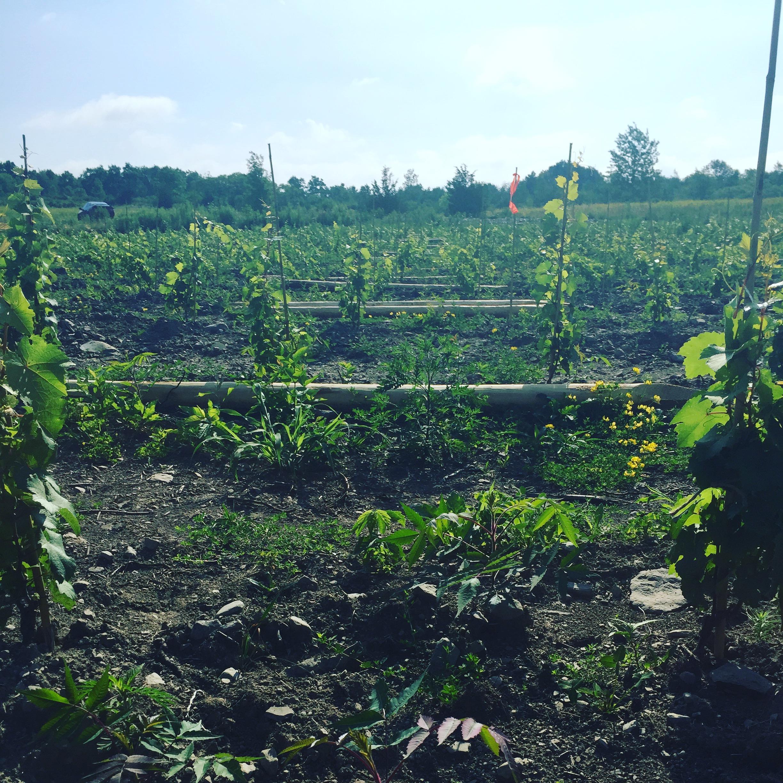 forge cellars vineyard