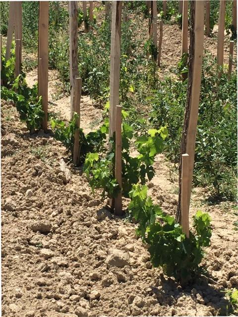 clairette vines saint cosme