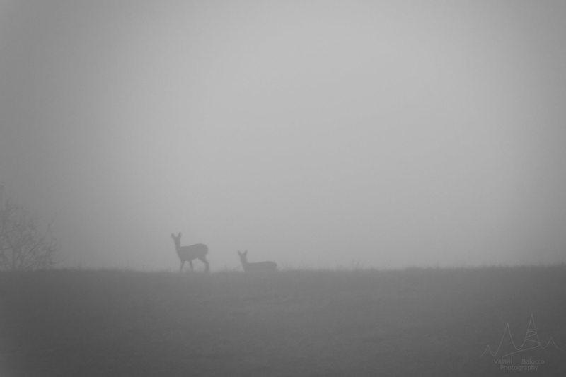 ' Amici nella nebbia ' - Capriolo (Capreolus capreolus), Oltrepò Pavese