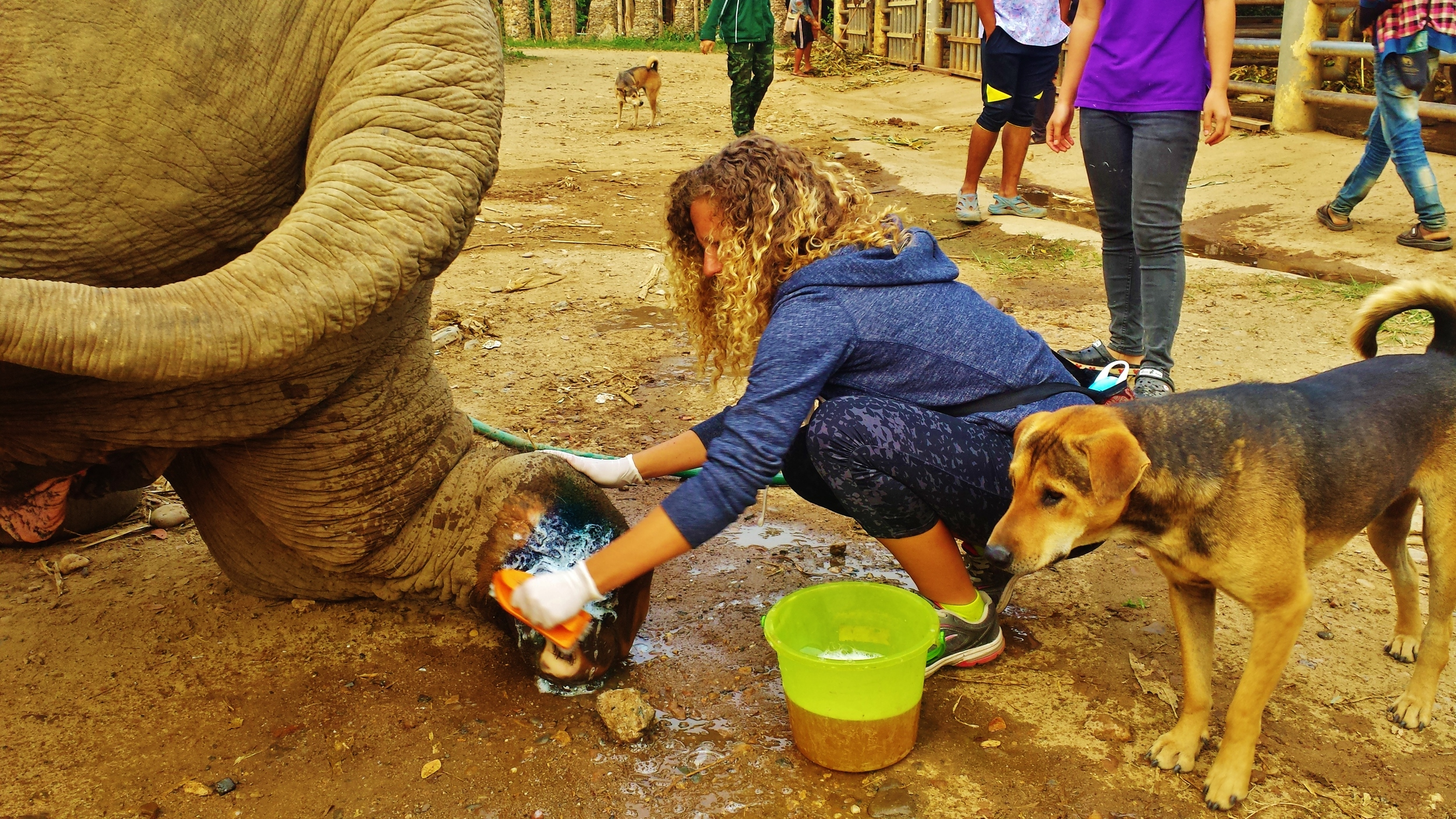Tending to a landmine wound on an elephant rescued from the illegal logging industry.
