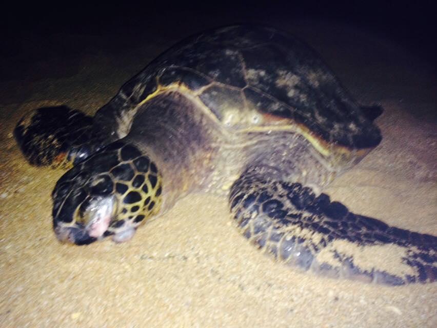 Honu resting on Turtle Beach, North Oahu