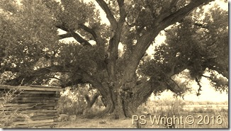 Tree and Miner's RR Shack-San Pedro Riparian, AZ