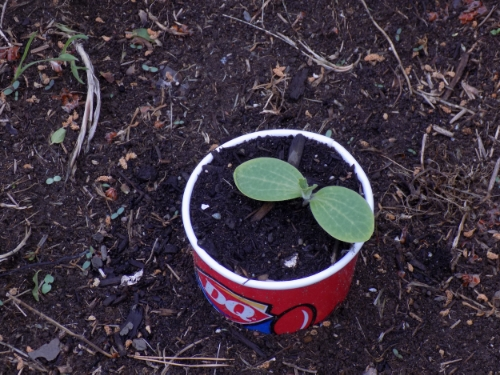 Pumpkin sprout in cup sleave