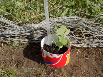 Place the cup into the hole, and fill in with soil. Pat to firm.