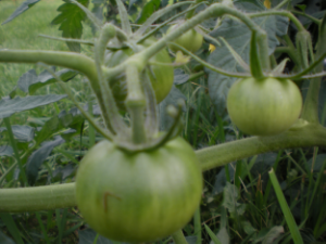 A tomato plant is an organism