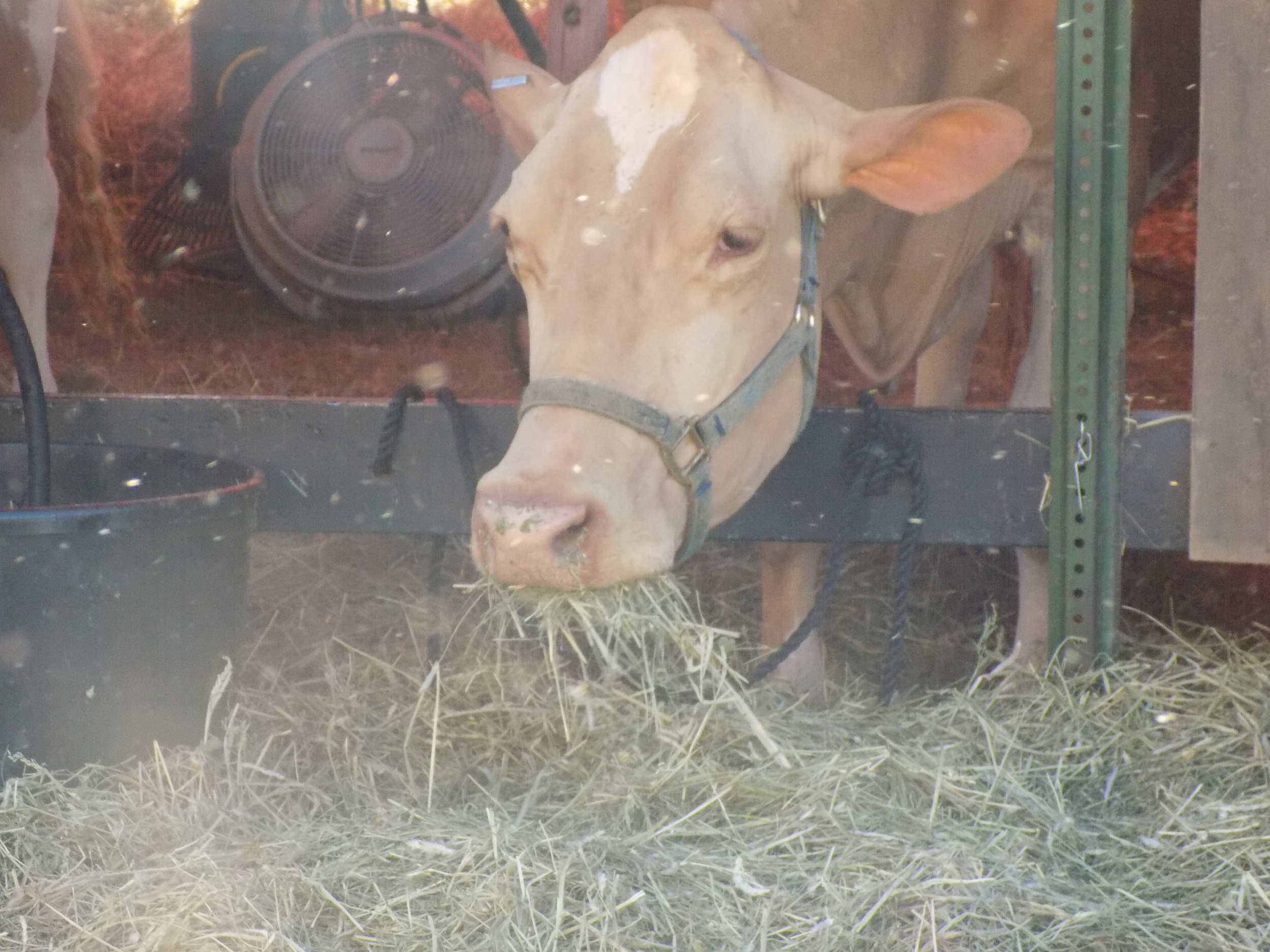 Just a cow munching on some hay