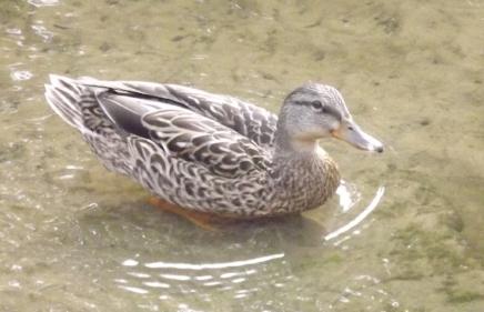If it swims like one, and quacks like one...