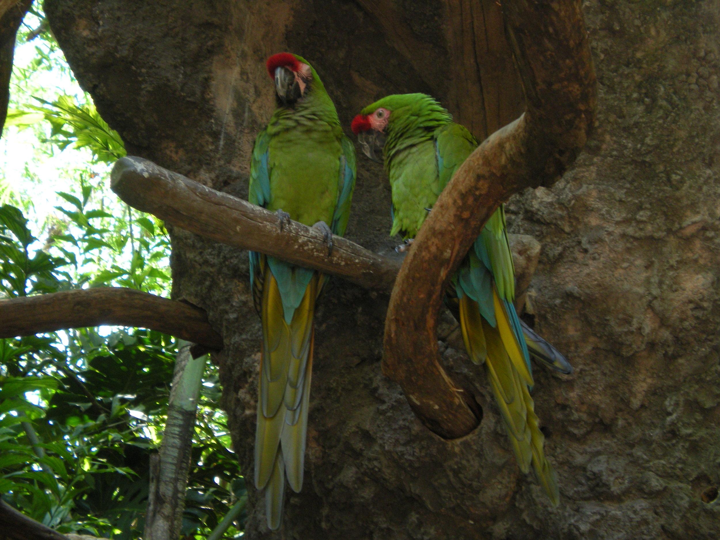 Parrots in Animal Kingdom, Walt Disney World, Florida - author's collection