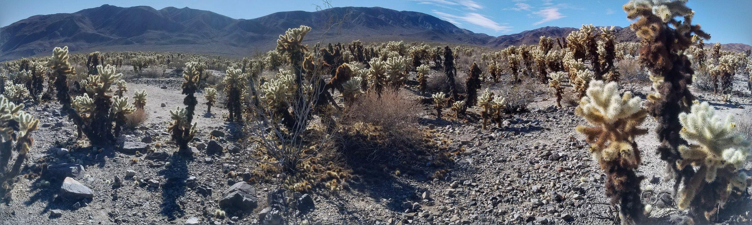 Cholla Cactus Garden Panorama