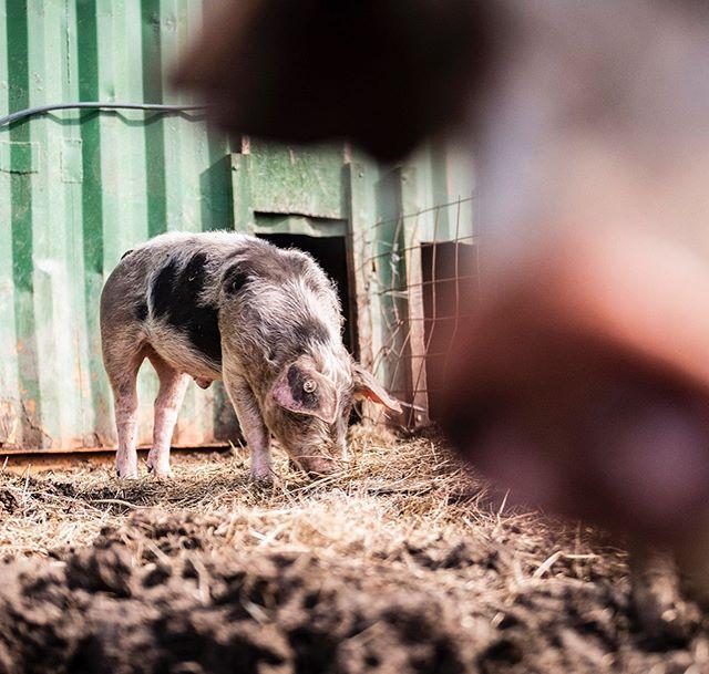 Diese #BuntenBentheimer #Schweine sind mir im hohen Norden begegnet. Wie auch andere alte Schweine sind sie fast verschwunden und werden nur noch von leidenschaftlichen Landwirten gehalten, die die Qualitäten dieser Rasse schätze. Das #Fleisch hat einen einzigartigen Geschmack und das #Fett ist zum dahinschmelzen. Bewahrenswert. Probierenswert. . . . These Bunte Benheimer pigs i met in the north of #Germany. Like other heritage breeds these animals have almost dissapeared from German farms. Only passionate farmers still raise them in their backyards knowing that these creatures a well worth preserving from extinction. The taste is amazing and the fat melts in your mouth. . . . #heritagebreed #pork #pigslife #farming #piglet #buntesbentheimer #landwirtschaft #agriculture #slowfood #schweinefleisch #schweineleben #freerange