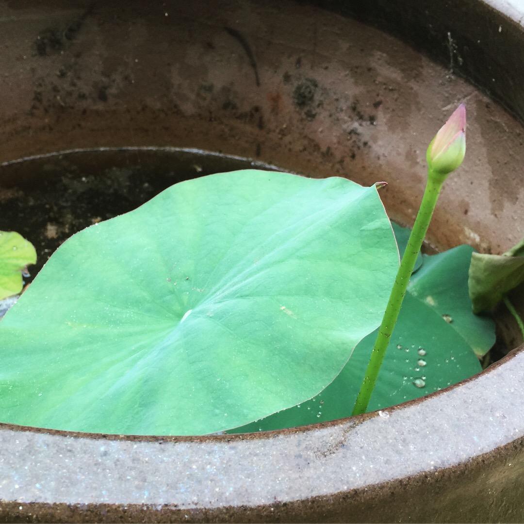 lotusbud.JPG