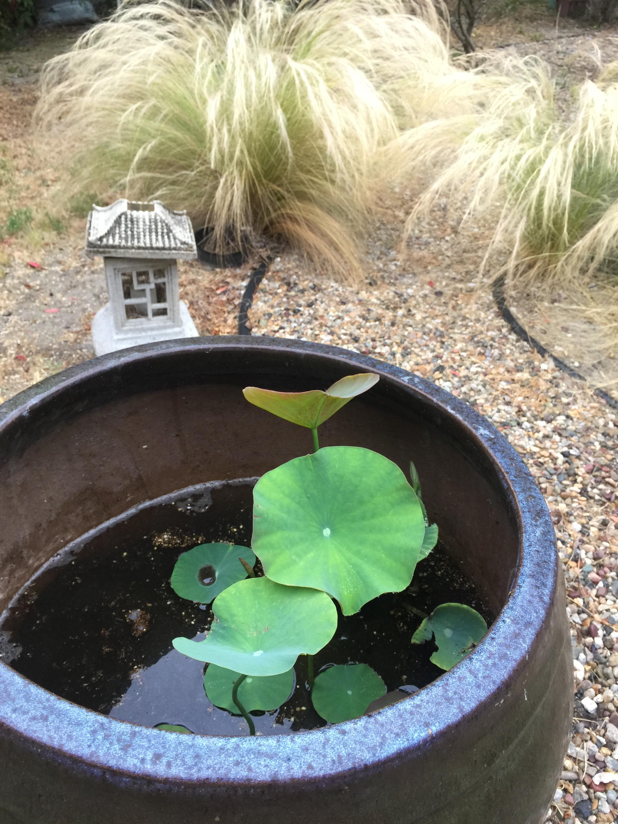 lotusplant.JPG
