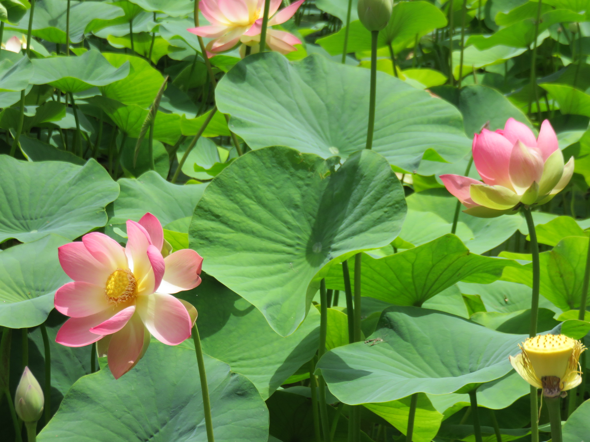 lotuslandlotusflower.JPG