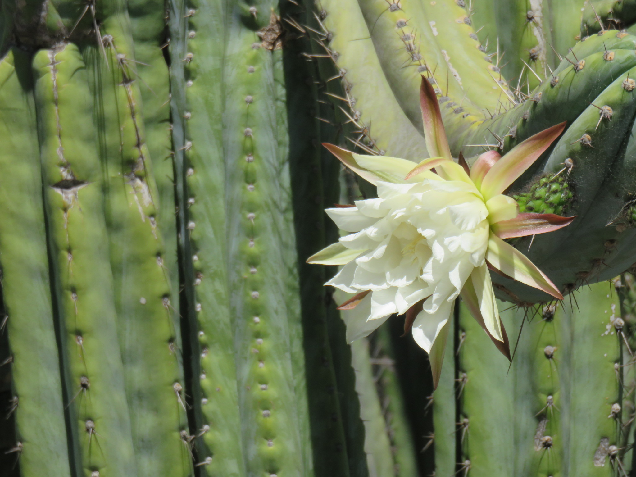 lotuslandcactusflower.JPG