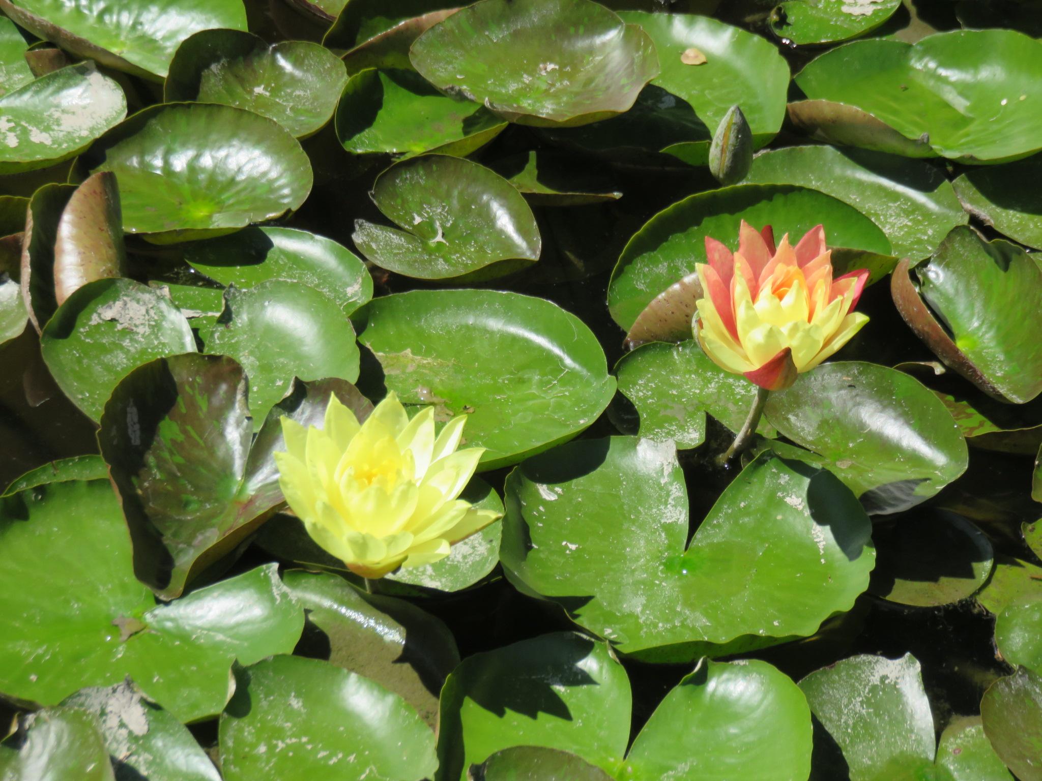 lotuslandlilly.JPG