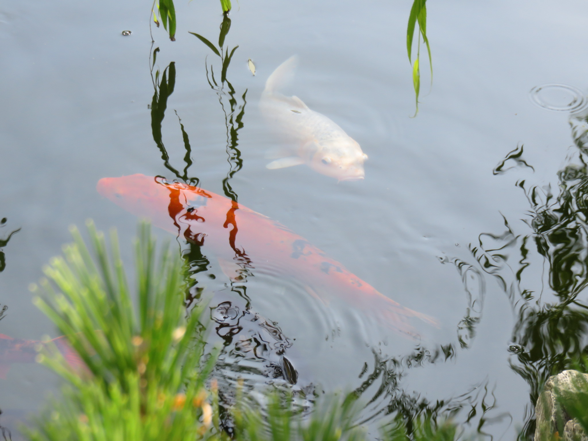 Koi Fish | Botanical Gardens