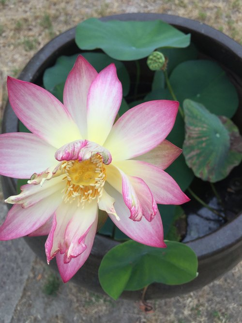 Growing a Lotus Plant