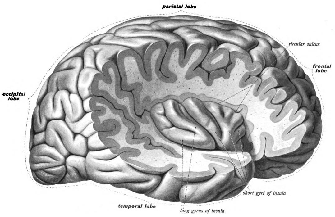 Ze human brain.