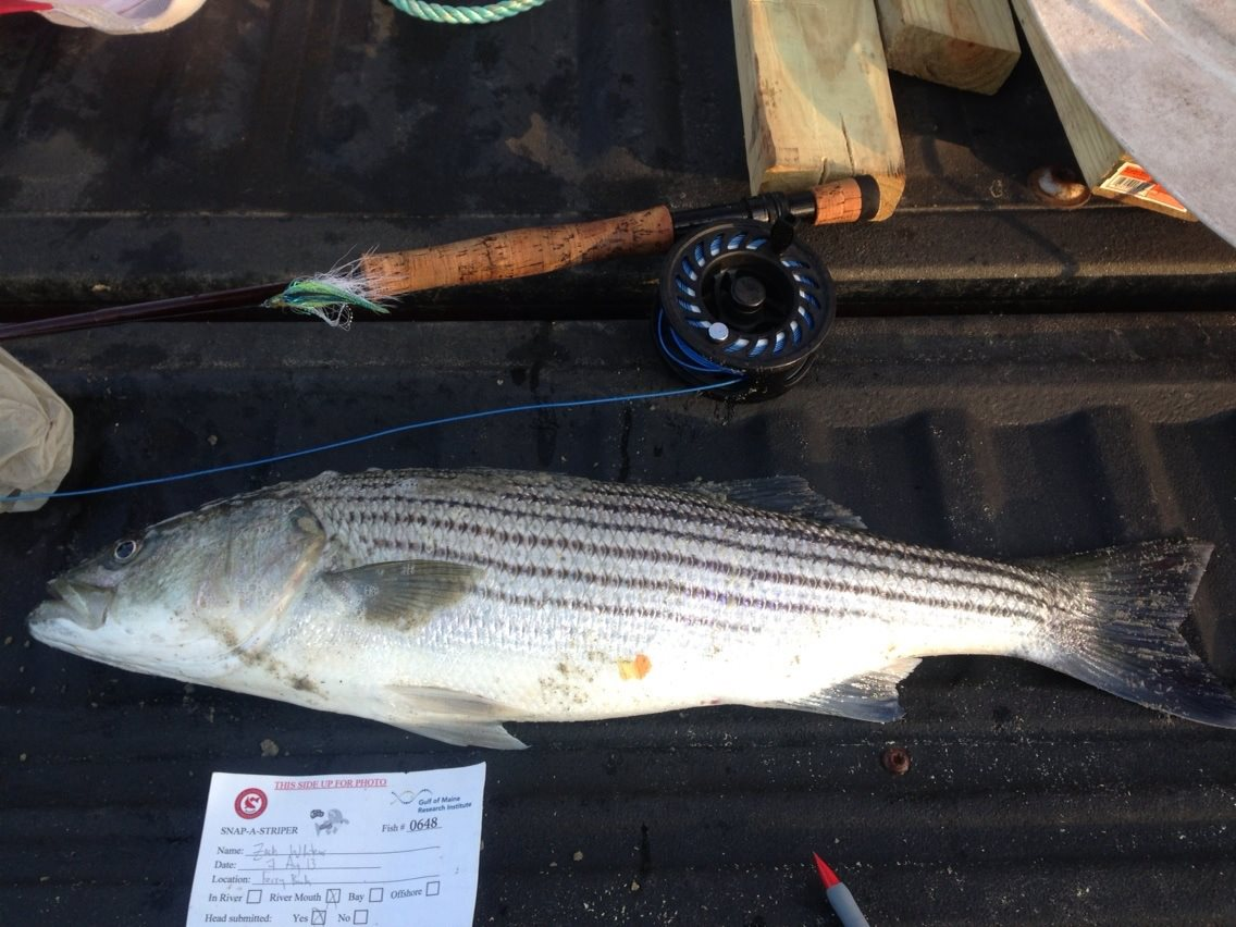 A schoolie striper harvested, with data card in photo for scientific analysis.
