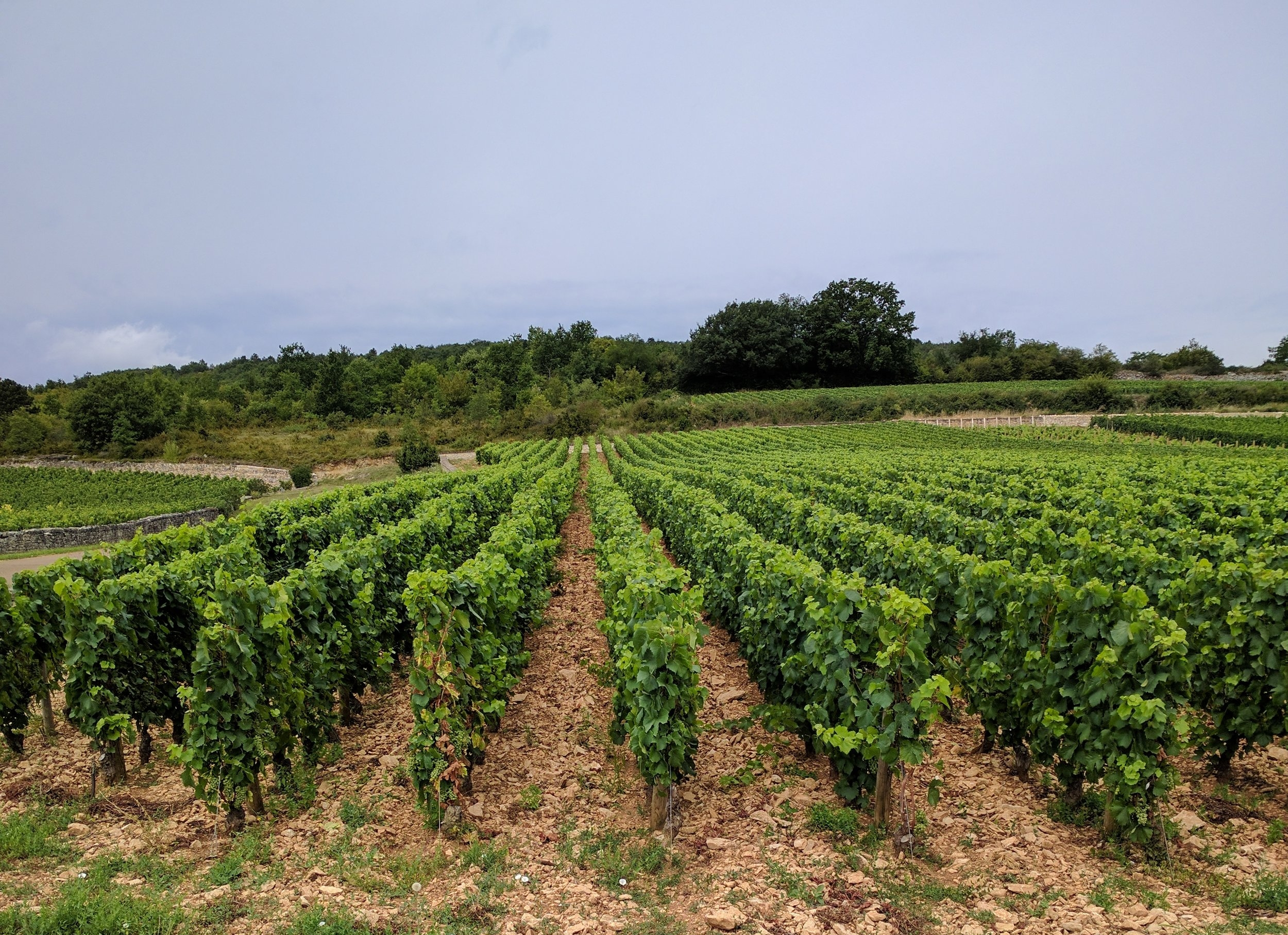 - ...versus the perfectly manicured, trellised vines throughout the rest of Burgundy.
