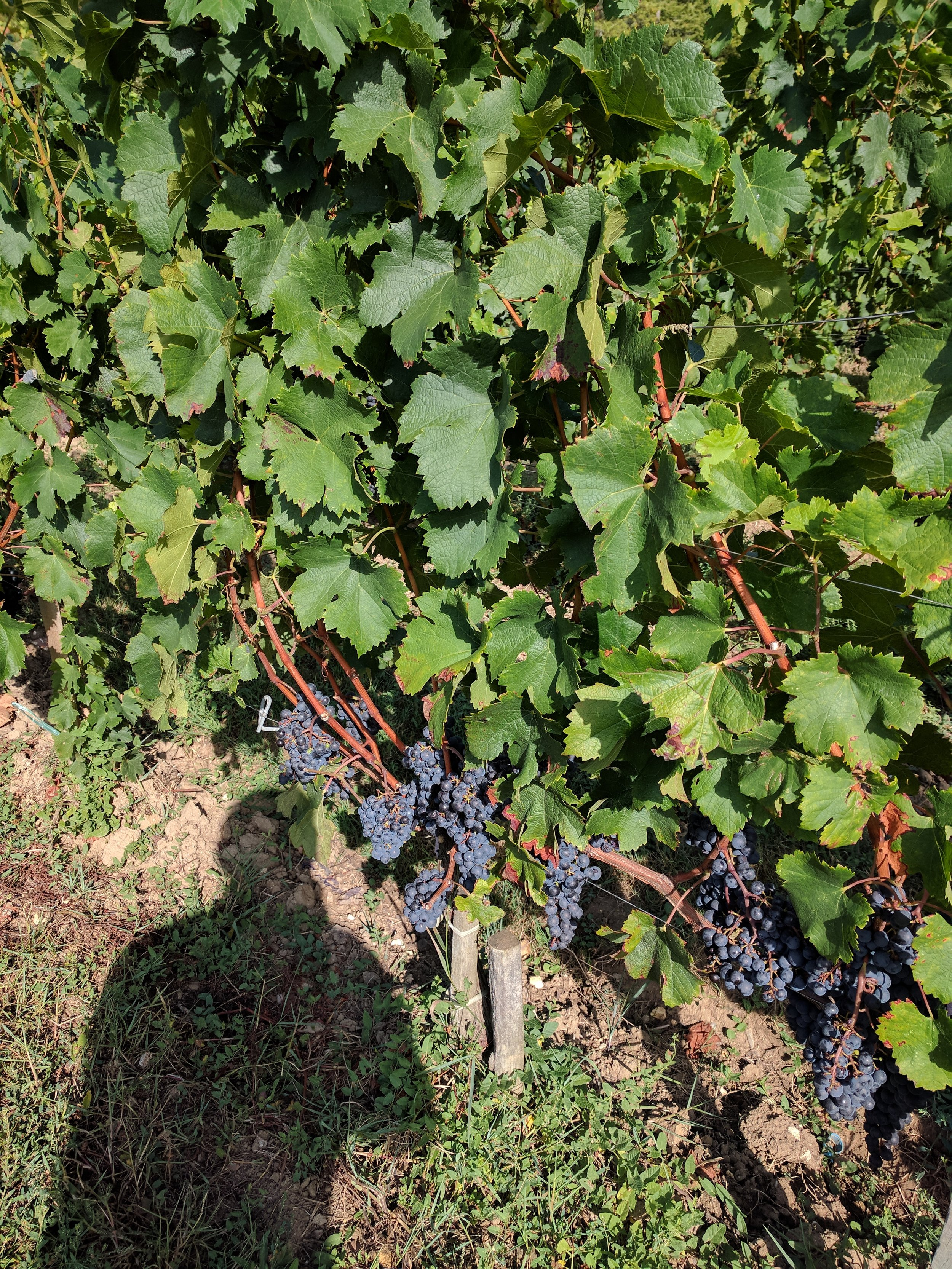 - ...While 6 miles away at Chateau Bernateau in Saint Emilion, they had a healthy growing season with 7-8 bunches on each stock.