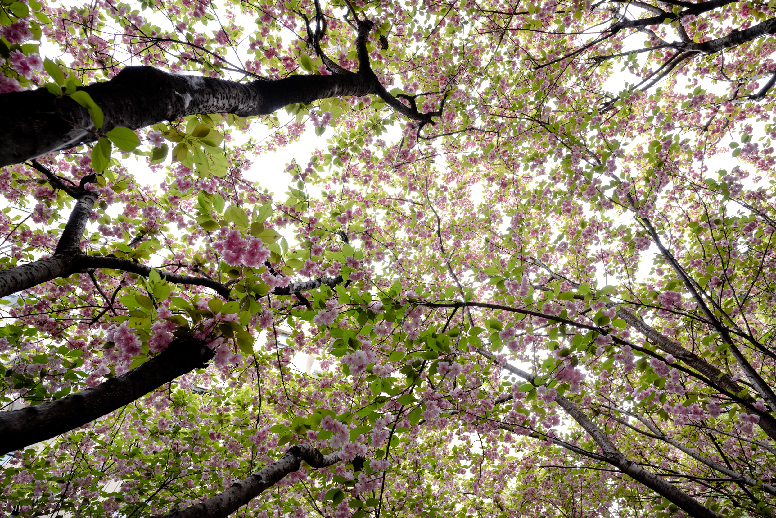 Leica M10 + 18mm f/3.8 Super Elmar-M ASPH - The first of the cherry blossom - as promised. Just so perfect on a spring day.